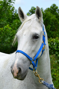 horse-for-adoption